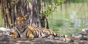 Menjenguk Rumah Sementara Harimau